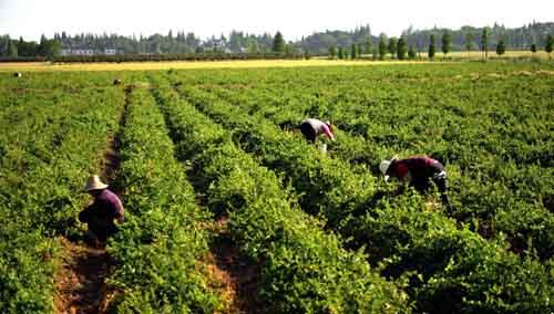 百亩金银花基地含苞待放,喜获丰产.