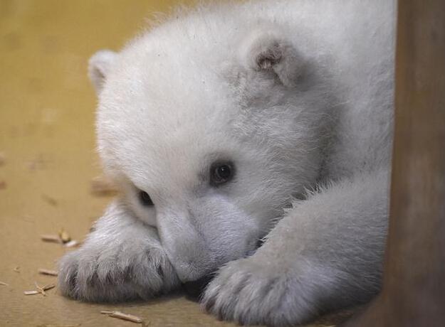 """""""超萌""""北极熊宝宝亮相德国动物园"""
