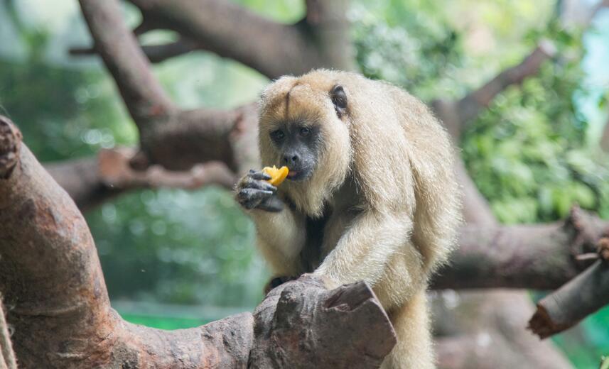 四大南美萌猴长隆野生动物世界金猴王国首展