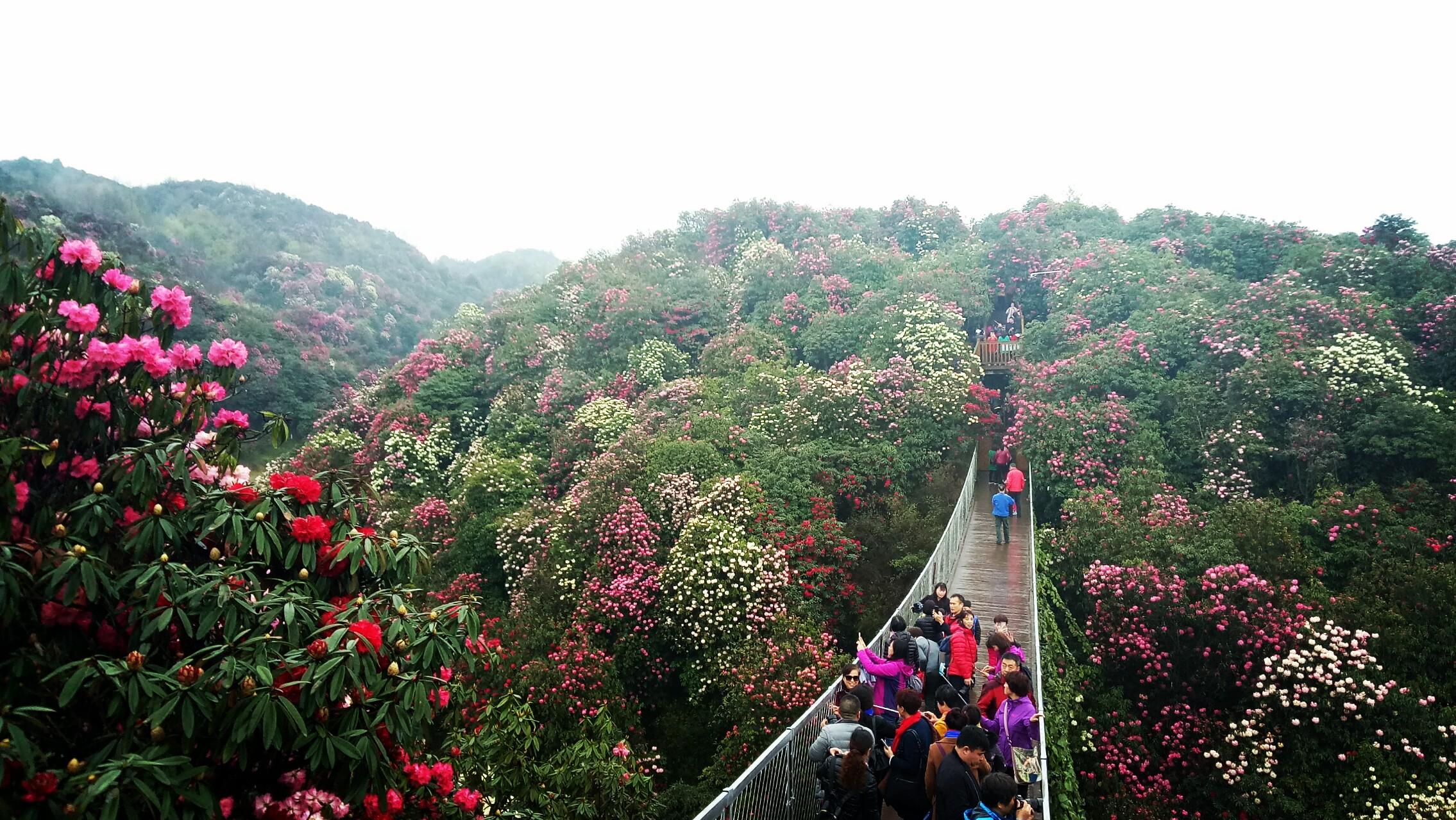 国际杜鹃论坛,花海音乐节,苗族神鼓节,贵州百里杜鹃第二十四届国际
