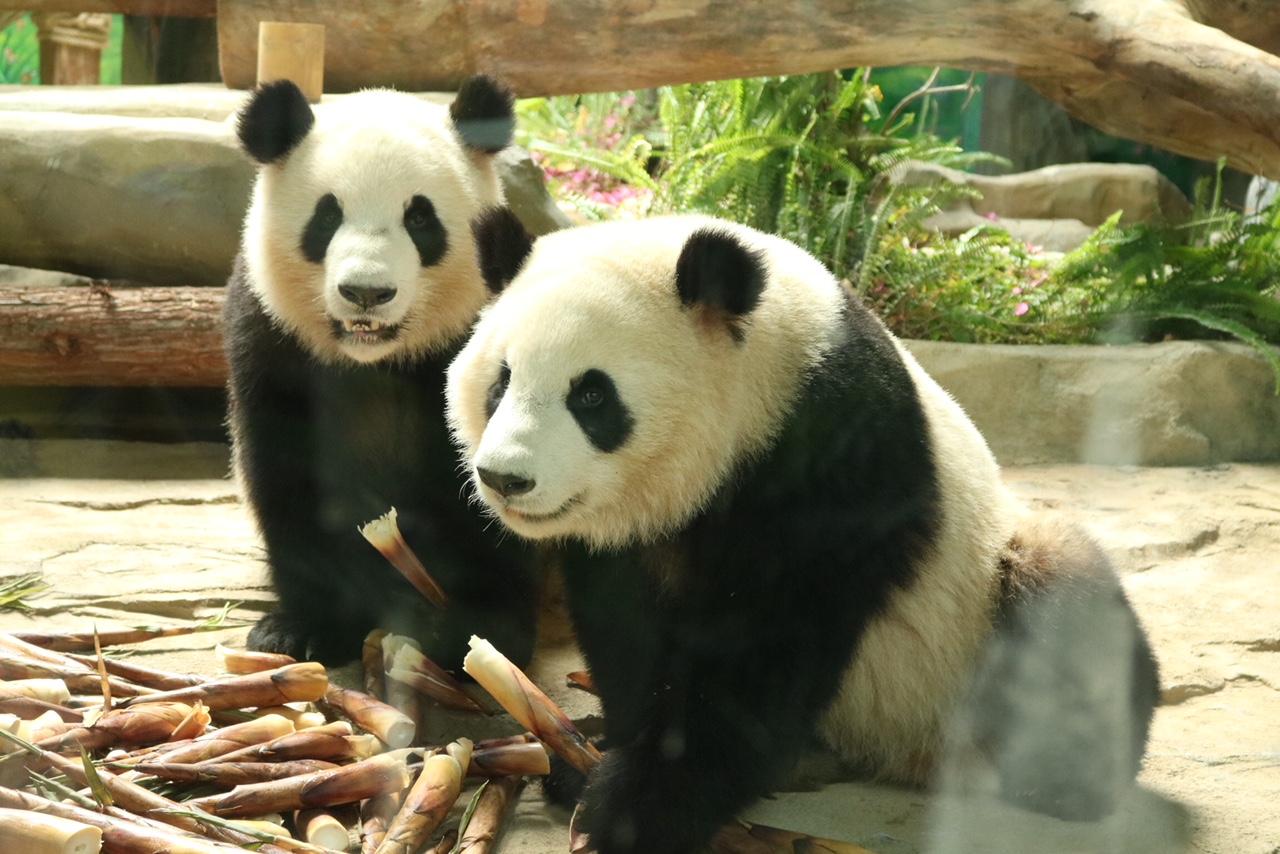壁纸 大熊猫 动物 1280_854