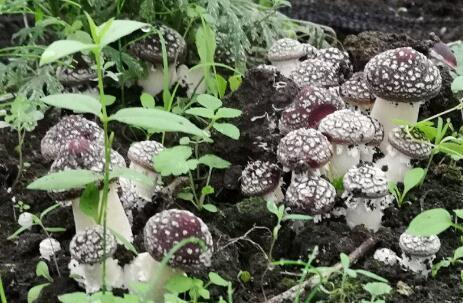 大兴安岭 塔河县绿办利用废弃菌包栽培大球盖菇试验成 香港商报