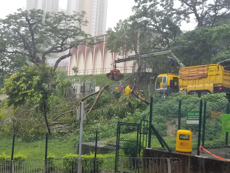 清水灣15米高大樹倒塌 幸無人受傷