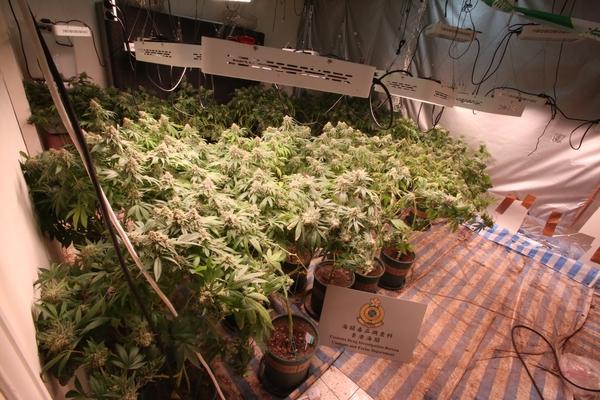 海關元朗八鄉搗破大麻種植場 檢383棵大麻約值3600萬元
