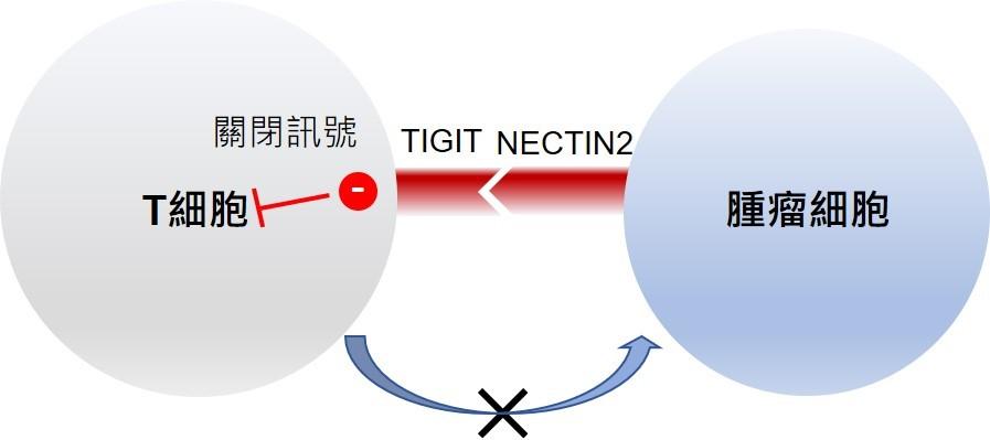 港大發現肝癌免疫檢查點TIGIT-NECTIN2 或為肝癌病人提供精準治療