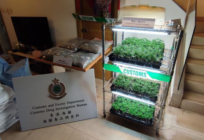 海關搗破歷年來最大大麻種植場 檢7000萬元大麻拘一人